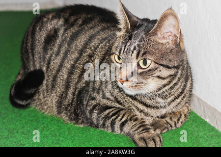 A gray cat relaxes on green ground. - Stock Photo