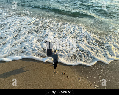 seagulls spread wings over the foamy waves in south Florida at dawn - Stock Photo