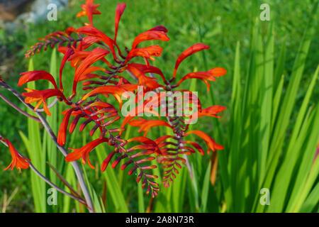Rote Blüte einer Chasmanthe, Schwertlilie aus Südafrika - Stock Photo