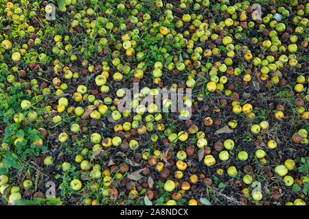 Apples left the ground background, both fresh and putrid, rotten from a wild apple tree - Stock Photo