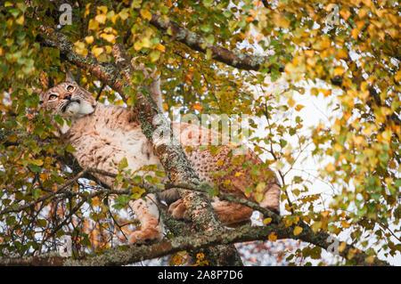 A landscape image of a European Lynx, Lynx lynx, in the treetops at the Highland Wildlife Park, Kincraig, Scotland. 30 October 2019 - Stock Photo