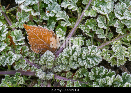 Fallen silver birch (Betula pendula) leaf on the forest floor among green leaves covered in hoar frost / hoarfrost in autumn / fall - Stock Photo