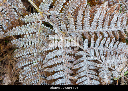 Fronds of common bracken / eagle fern (Pteridium aquilinum) covered in hoarfrost / hoar frost in autumn / fall - Stock Photo