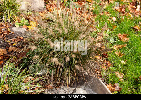 Fountain grass, Cenchrus, is a widespread genus of flowering plants in the grass family - Stock Photo