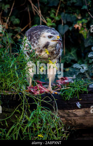 A white mice buzzard is feasting on a caught pigeon in one of the neglected rooftop gardens at the Ihmezentrum in Hannover in November 2019. - Stock Photo