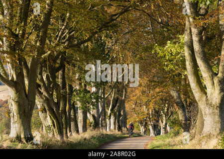 A Lone Cyclist Passing Through a Tunnel of Beech Trees (Fagus Sylvatica) on a Quiet Aberdeenshire Country Lane in Autumn - Stock Photo