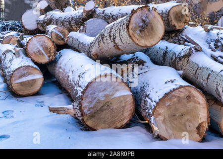 Trunks of large trees in the winter season. Sawn trunks of large poplars covered with snow. - Stock Photo