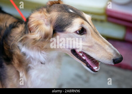 Russian hunting sighthound (breed of hunting dogs) close-up, side view. The coat is beige, white. Dog with open mouth looks away. - Stock Photo