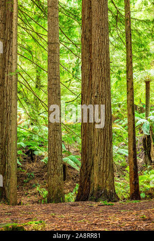Californian redwood forest in the Great Otway National Park in Victoria, Australia - Stock Photo