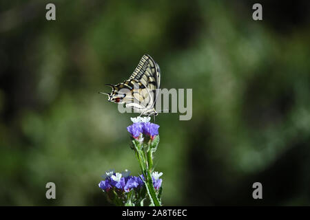 Common swallowtail butterfly Latin papilio machaon on a sea lavender, statice or caspia flower Latin limonium family plumbaginaceae in summer in Italy - Stock Photo