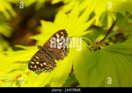 Speckled Wood butterfly (Pararge aegeria) resting in the sunshine on my bright green Japanese Maple Tree in my garden in Cardiff, South Wales, UK - Stock Photo
