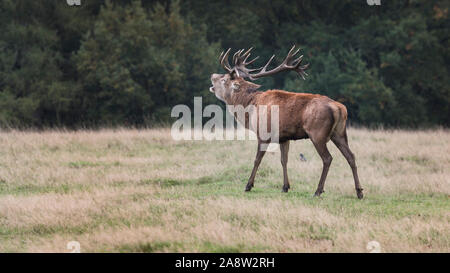 Oh my Deer! Red and fallow deer in rutting season in Richmond Park, London. - Stock Photo