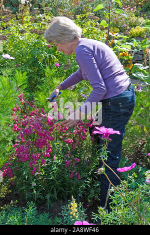 Mature woman cutting penstemon flowers in a Cornish garden for using in a display - Stock Photo