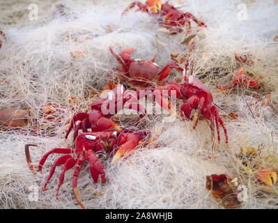 Red Ghost Crabs stuck in a disused fishing net discarded on Cox's Bazar Beach - Stock Photo