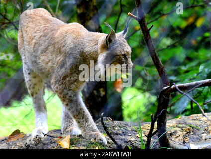 Lynx in forest - Stock Photo
