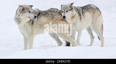 Grey Wolves at West Yellowsone, Montana, USA - Stock Photo
