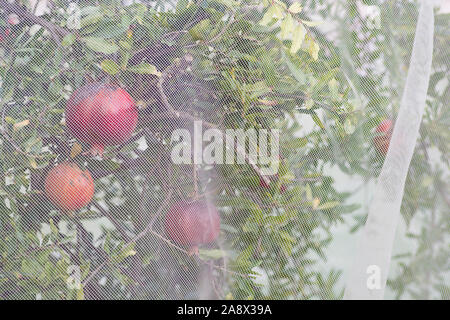 Bird protection net for Pomegranate Punica granatum) fruits, preventing birds and pests to damage the fruits - Stock Photo