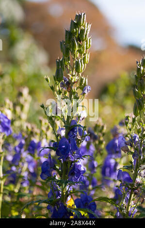 Delphinium grandiflorum, Siberian larkspur, - Stock Photo