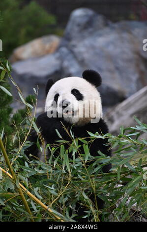 a giant panda  eats bamboo - Stock Photo