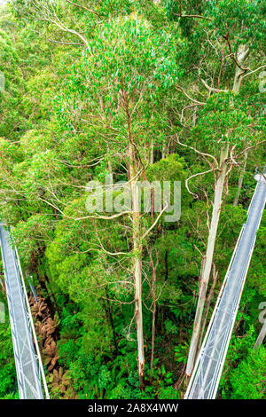 The metal treetop walkway that dissects the giant Mountain Ash gum trees at Otway Fly in Victoria, Australia - Stock Photo