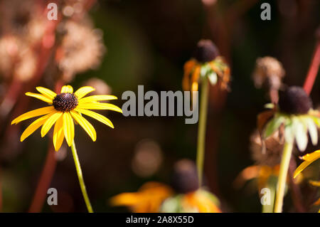 Rudbeckia Fulgida in Autumn Foliage - Stock Photo