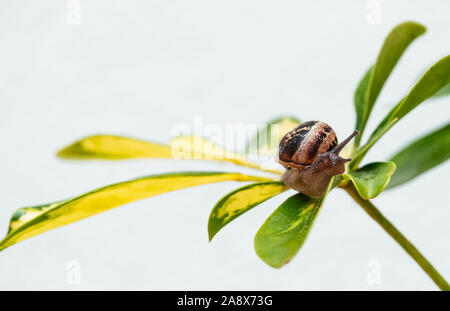 Common garden snail crawling on green leaf of plant