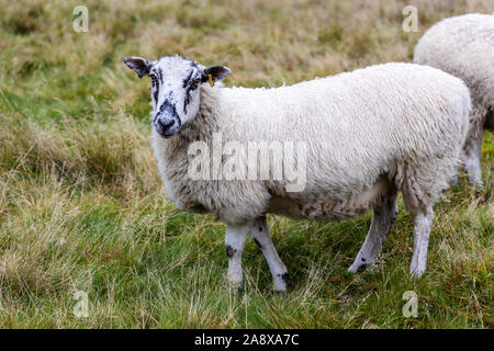 Curious speckled face sheep grazing in a field. - Stock Photo