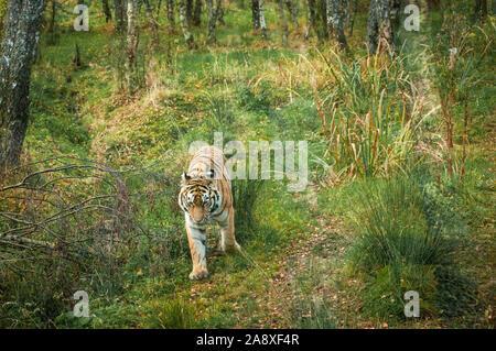 An image of a captive Amur or Siberian Tiger, Panthera tigris tigris, pacing in it's enclosure, Highland Wildlife Park, Kincraig, Scotland. 30 October - Stock Photo
