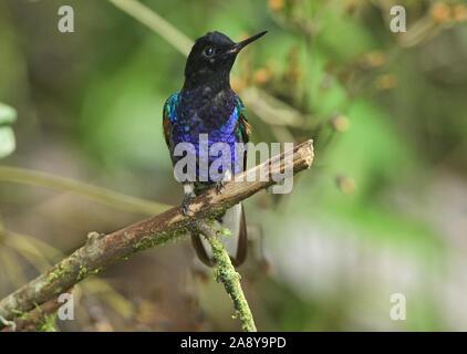Velvet-purple coronet hummingbird (Boissonneaua jardini), San Tadeo, Mindo, Ecuador - Stock Photo