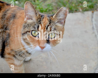Beautiful orange, black and white feral cat with a clipped ear. Close up. Portrait. Copy space. - Stock Photo