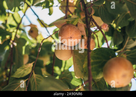 Closeup of persimmon fruit ripening on branches - Stock Photo