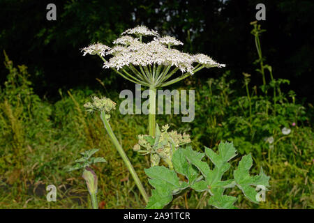 Heracleum sphondylium (hogweed) is a native member of the parsley family (Apiaceae). This common species is found in a variety of habitats. - Stock Photo