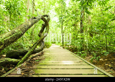 (Selective focus) Stunning view of the Kapok tree roots in the foreground and a defocused walkway that runs through a tropical rainforest. - Stock Photo
