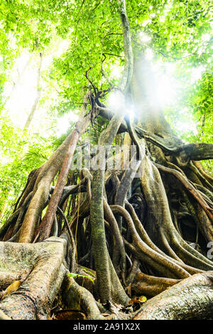 (Selective focus) Stunning view of the Kapok tree roots in the foreground and beautiful  green tree crown in the background. - Stock Photo