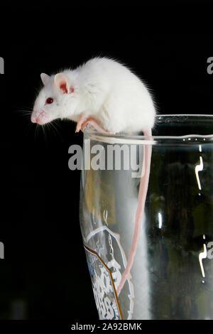 Weisse Maus klettert aus Bierglas, - Stock Photo