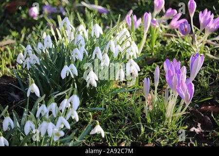 Snowdrops (Galanthus nivalis) & Purple Crocus (Crocus sativus) - Stock Photo