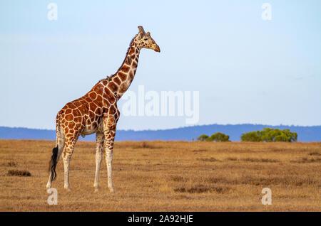 Nubian Giraffe Giraffa camelopardalis camelopardalis male walking landscape plains Masai Mara National Reserve Kenya East Africa Critically endangered - Stock Photo