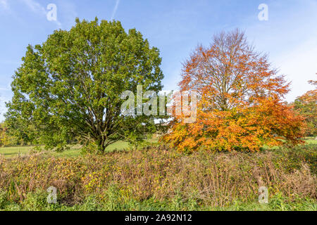 An oak tree (still green) and a beech tree in full autumn colour at Blaisdon, Forest of Dean, Gloucestershire UK - Stock Photo