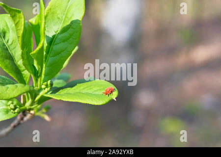 Dangerous parasite and infection carrier mite is sitting on green leaf. Danger of tick bite. Stock Photo