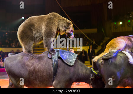 performance of brown bears buffalo in the circus arena - Stock Photo