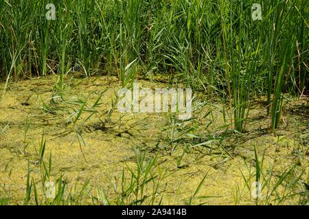 plants and algae in stagnant water - Stock Photo