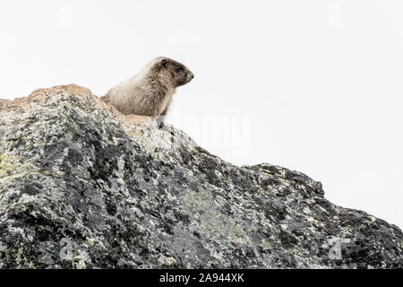 A marmot stands on a rock in an alpine meadow on a cloudy summer day in the Coast Mountains of BC. - Stock Photo