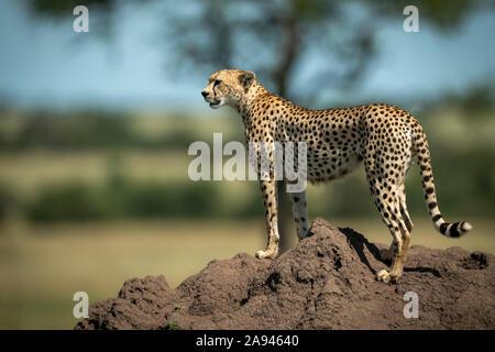Cheetah (Acinonyx jubatus) stands on termite mound in profile, Grumeti Serengeti Tented Camp, Serengeti National Park; Tanzania