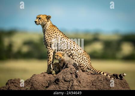 Cheetah (Acinonyx jubatus) with two cubs on termite mound in profile, Grumeti Serengeti Tented Camp, Serengeti National Park; Tanzania