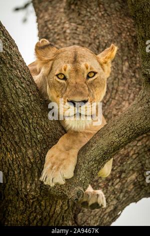 Lioness (Panthera leo) lies on branch with legs dangling, Grumeti Serengeti Tented Camp, Serengeti National Park; Tanzania