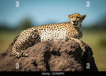 Cheetah (Acinonyx jubatus)  lies on mound with blurred background, Grumeti Serengeti Tented Camp, Serengeti National Park; Tanzania