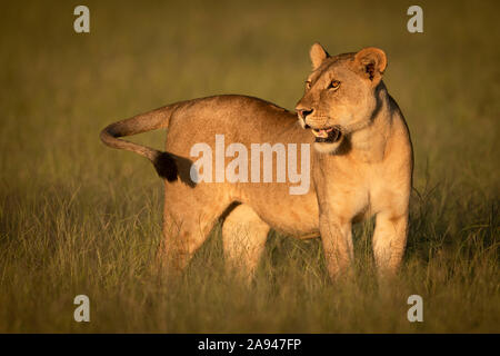 Lioness (Panthera leo) stands in grass in golden light, Grumeti Serengeti Tented Camp, Serengeti National Park; Tanzania