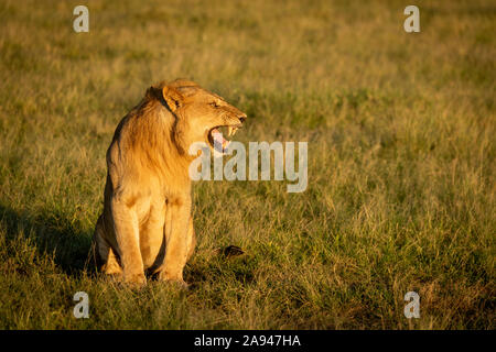 Male lion (Panthera leo) shows Flehmen response sitting on grass, Grumeti Serengeti Tented Camp, Serengeti National Park; Tanzania