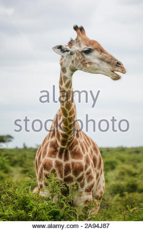 girrafe - Stock Photo