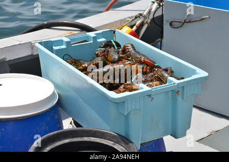 Blue bin full of freshly caught lobsters on a commercial fishing boat. - Stock Photo